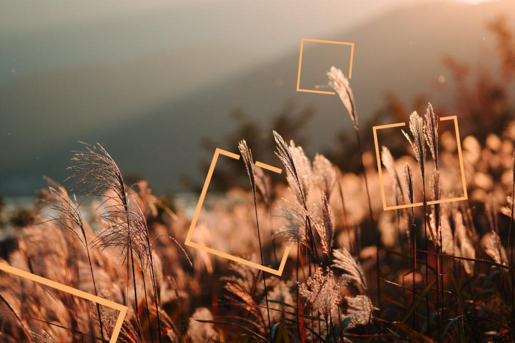 kans_grass